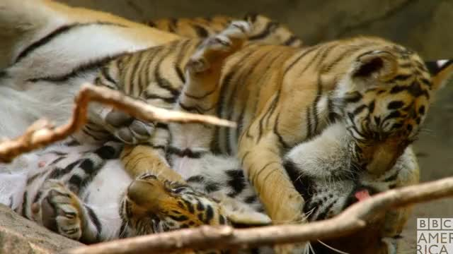 Watch this animal GIF by BBC America (@bbcamerica) on Gfycat. Discover more animal, animals, awww, bbc america, bbc america dynasties, bbc america: dynasties, dynasties, hug, hugs, love, tiger, tigers GIFs on Gfycat