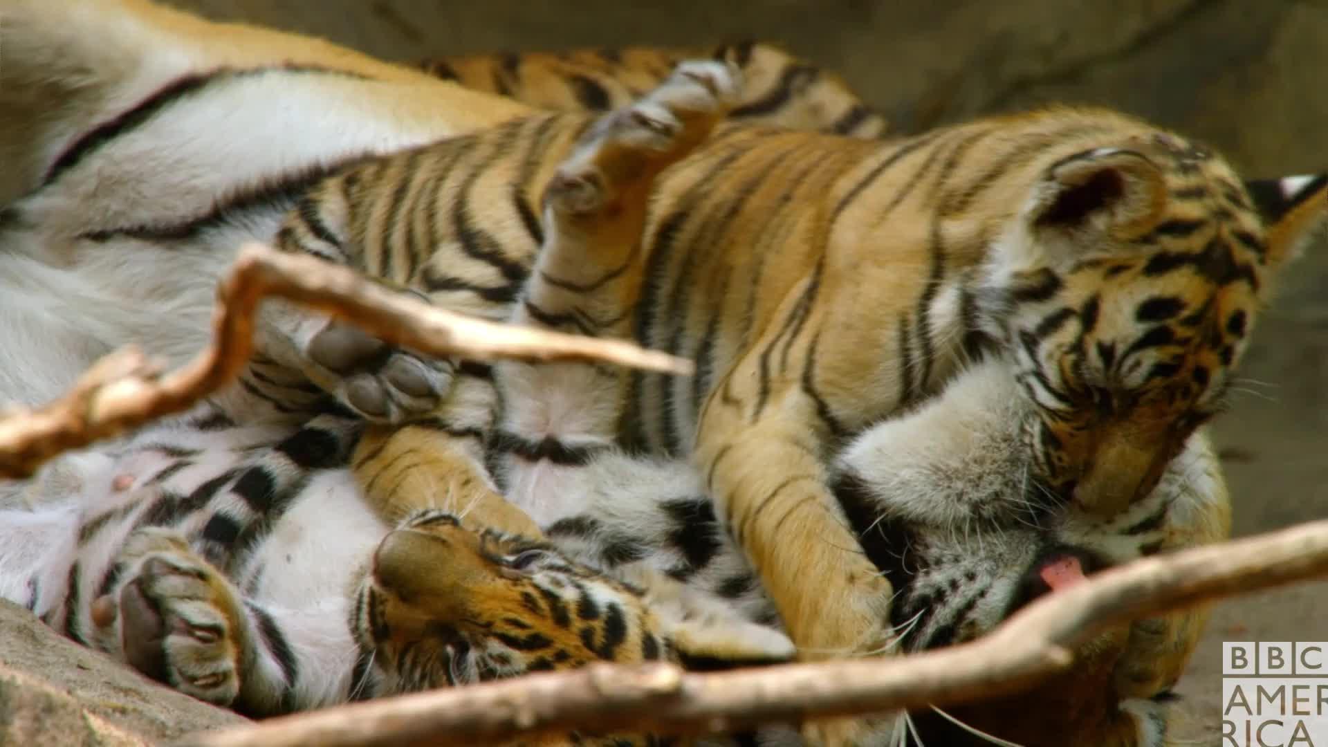 animal, animals, awww, bbc america, bbc america dynasties, bbc america: dynasties, dynasties, hug, hugs, love, tiger, tigers, Dynasties Tiger Hug GIFs
