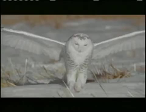 Watch and share OWLS MAKING THE KILL GIFs on Gfycat