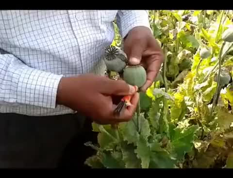 Watch Opium Farming - How do they do it ? GIF on Gfycat. Discover more related GIFs on Gfycat