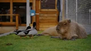 Watch and share Capybara GIFs and Ducks GIFs on Gfycat