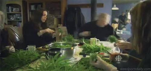 Watch CBC - Canadian Cannabis - weed trimmers GIF by WeedPornDaily (@weedporndaily) on Gfycat. Discover more 420, buds, cannabis, cbc, ganja, green, herb, kush, marijuana, mary jane, medical marijuana, mmj, pot, stoner, television, tv, weed GIFs on Gfycat