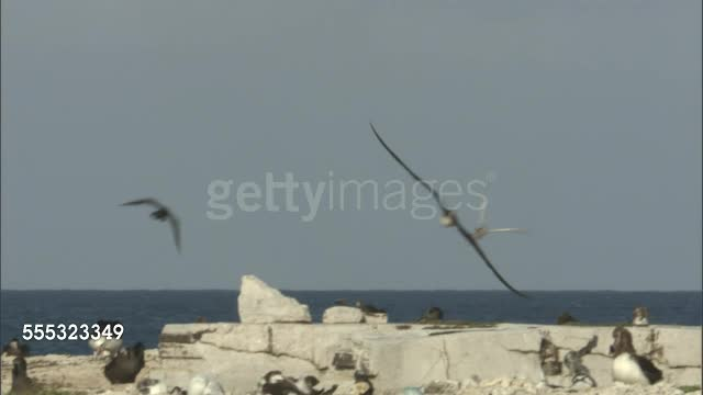 Great Frigatebird forces a Red-tailed Tropicbird to drop a fish GIFs