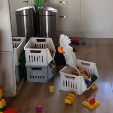 Watch Harley my funny cockatoo GIF on Gfycat. Discover more related GIFs on Gfycat