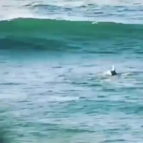 Dolphin surfing a wave accidentally knocks a paddle boarder off their board GIFs