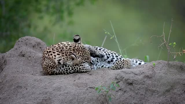 Watch and share Tatowa Cubs Termite Mound GIFs by Londolozi Game Reserve on Gfycat