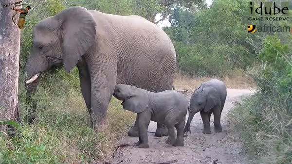 Watch Baby elephant gracefully takes a seat (reddit) GIF on Gfycat. Discover more babyelephantgifs GIFs on Gfycat