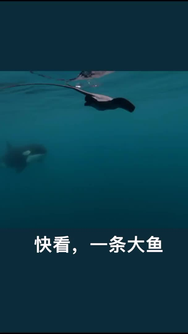 Watch and share Killer Whale GIFs and Adbiu GIFs by NO ZUO NO DIE on Gfycat