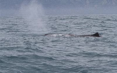 Watch and share Sperm Whale GIFs on Gfycat