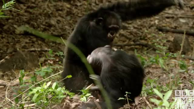 Dynasties Chimp Fight