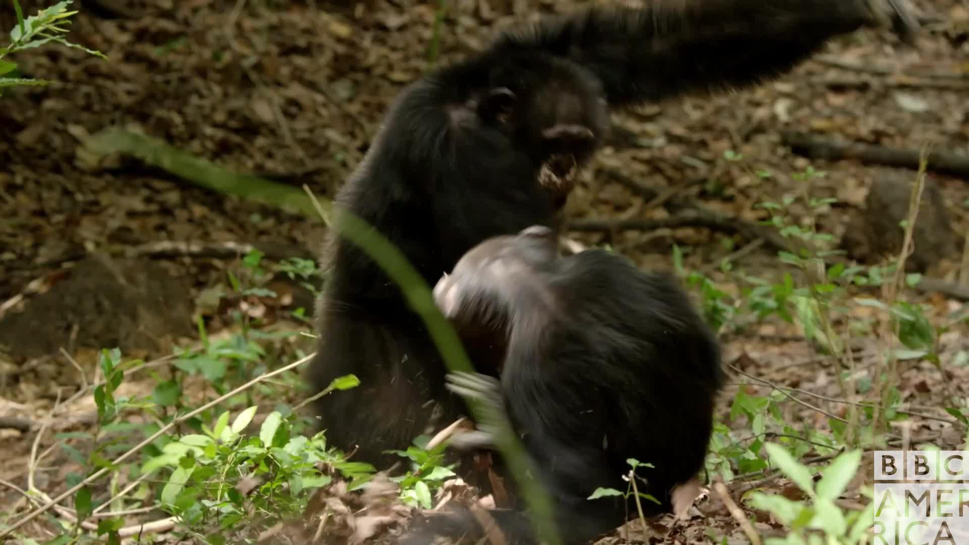 animal, animals, bbc america, bbc america dynasties, bbc america: dynasties, chimp, chimpanzee, chimpanzees, chimps, dynasties, Dynasties Chimp Fight GIFs