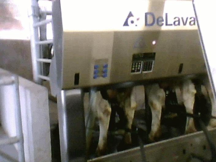 Kor som mjölkas i mjölkmaskiner