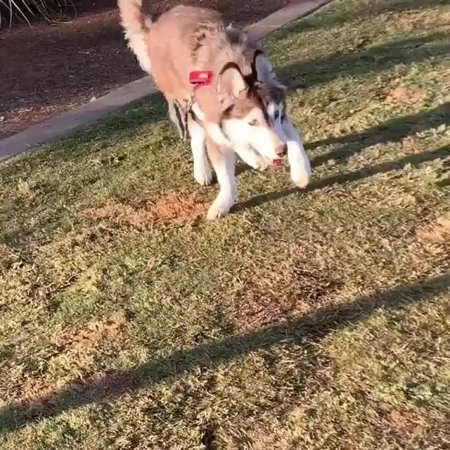 Clyde the husky has cerebellar hyperplasia, but that doesn't stop him from doing his best to be a loving good boy every day GIFs
