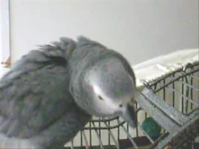 grey, parrot, partyparrot, Puffy Party Parrot! GIFs