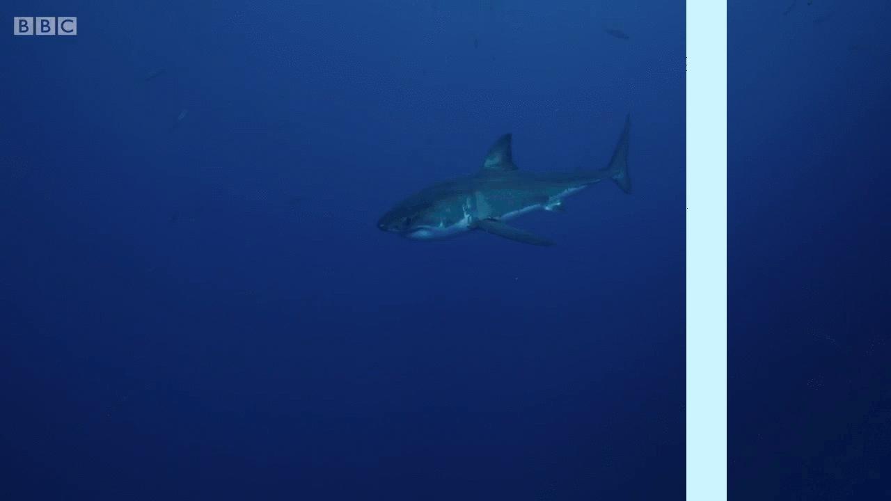 splitdepthgifs, [Request] This big mean shark. (reddit) GIFs