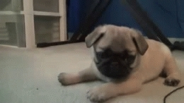 cute animals pug dog puppy playing attacking animated pics GIFs