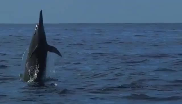 Watch and share Beautiful Dolphin Jumping High 8lo8 Gif GIFs on Gfycat
