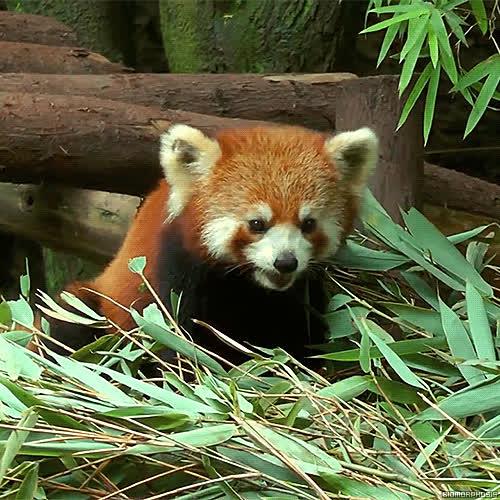 red panda, cute red panda GIFs