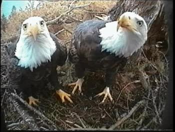Watch Eagles discover the webcam GIF on Gfycat. Discover more related GIFs on Gfycat