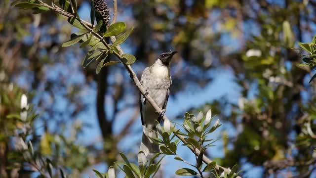 Watch and share Noisy Friarbird (Philemon Corniculatus) In Byron Bay / Lärmlederkopf GIFs by likkaon on Gfycat