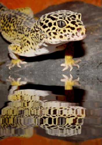 Watch and share Leopard Gecko Reflections - Animated Gif GIFs on Gfycat