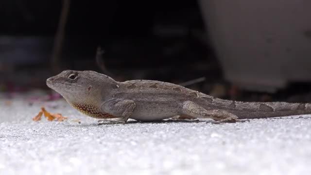 Watch and share Brown Anole Lizard GIFs by Slim Jones on Gfycat