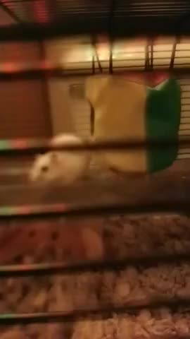 Watch Hamster Inspection GIF on Gfycat. Discover more Nicolas Alexander, People & Blogs GIFs on Gfycat