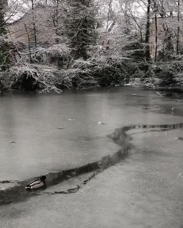 duck, ducks, Ducks swimming through a path in an icey river (reddit) GIFs