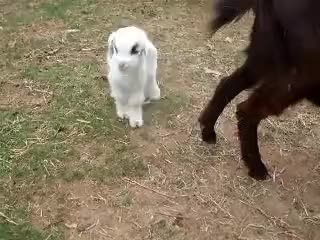 Watch Excited Baby Goat GIF on Gfycat. Discover more baby, cute, excited, goat, happy, tail, wagging GIFs on Gfycat