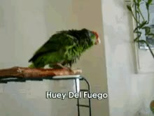 Watch and share Flirtatious Parrot Gone Wild GIFs on Gfycat
