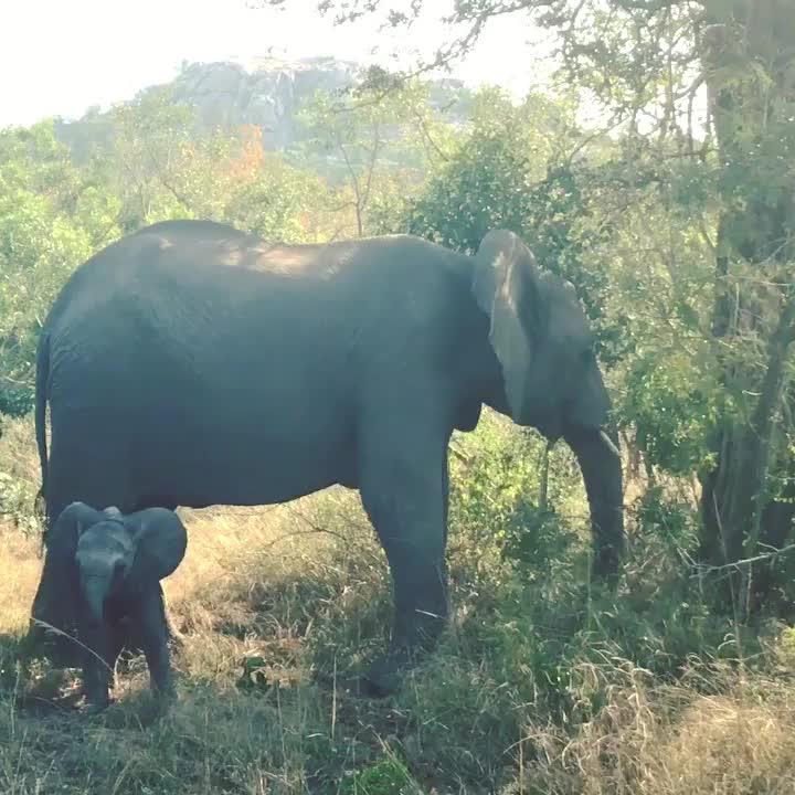 elephant, j. ney, Scary elephant encounter...#elephantsofkruger GIFs