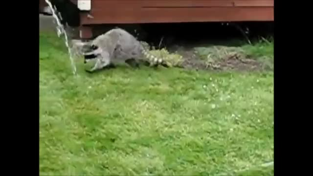 Watch this racoon GIF on Gfycat. Discover more 2m, Announcement, Compilation, Dog, Hit, VIDEOS, accident, best, crash, falling, freak, freakout, pets, popular, proposal, puppies, puppy, reactions, wfv, youtube GIFs on Gfycat