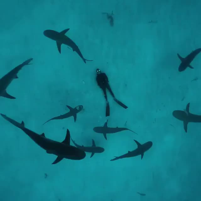 Watch Just in awe watching this unfold, blowing bubbles rings while the under appreciated Caribbean reef sharks circle overhead. It's almost as if GIF on Gfycat. Discover more Raw Exploration, roam247 GIFs on Gfycat