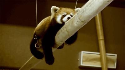 This Monday morning champ. | The 28 Best Red Panda GIFs Of All Time GIFs