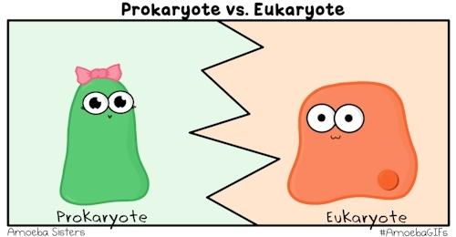 AmoebaGIFs, GIF, Science, amoebasisters, biology, cell structure, cells, edtech, eukaryote, eukaryotic, organelle, prokaryote, prokaryotic, We have a new GIF that compares prokaryotes and eukaryotes!R GIFs