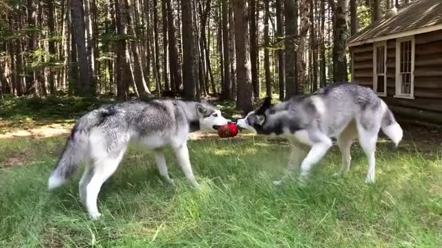 Watch and share Dog Reaction To Toy GIFs and Laika The Husky GIFs by mslaika on Gfycat