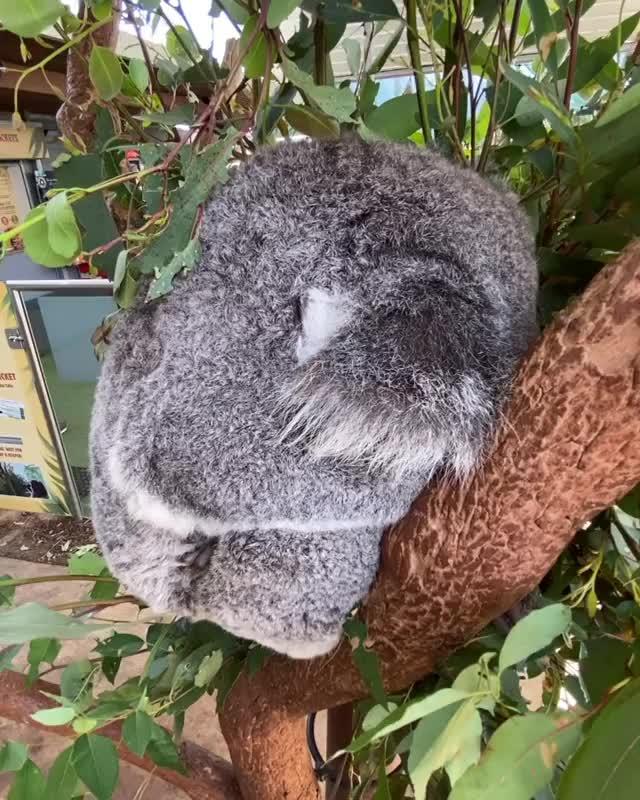 Watch and share Koala Bears GIFs by tracesofheaven on Gfycat