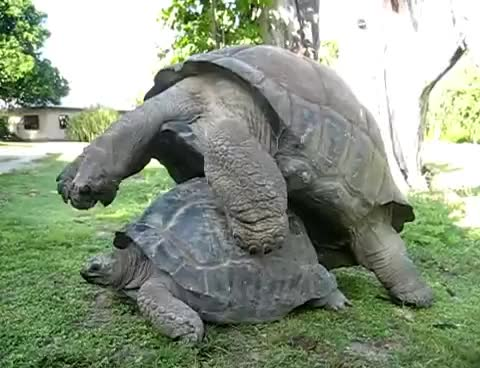 Watch this turtle GIF on Gfycat. Discover more sex, turtle GIFs on Gfycat