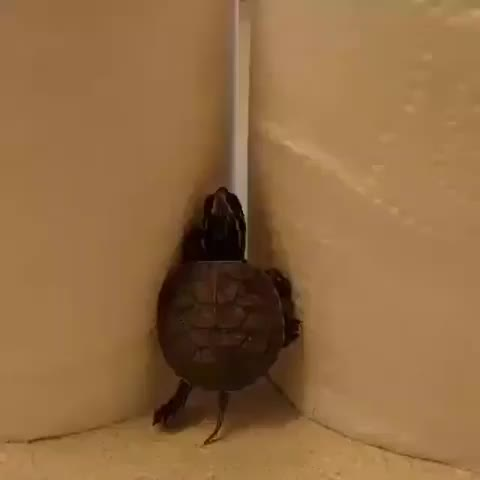 africa, animalpolis, animals, animalsaddict, animalsofinstagram, conservation, global4nature, igswildlife, instaanimal, prviaxiom, wildlife, wildlife_inspired, wildlife_perfection, wildlifeartist, wildlifeconservation, wildlifeofaustralia, wildlifeonearth, wildlifeowners, wildlifephotography, wildliferehab, The REAL ninja turtle! GIFs