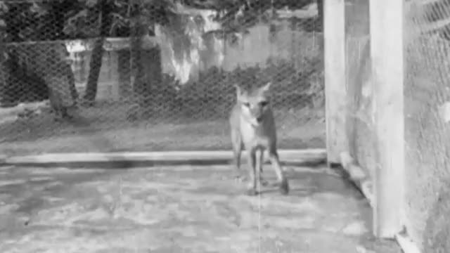 Watch and share New Reported Sightings Of Thylacine, Or The Tasmanian Tiger, Last Known Footage Taken In 1935 GIFs by yellayahmar_ on Gfycat