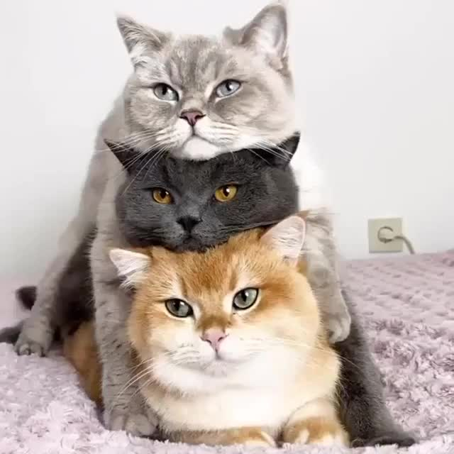Watch and share Stackable Cats GIFs by teistom on Gfycat