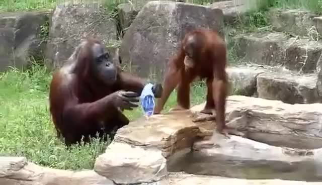 Watch Amazing Orangutan Acting Like Humans!!! GIF on Gfycat. Discover more related GIFs on Gfycat