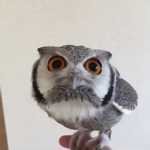 Watch and share Almost Stable Owl Needs A Bit Of Help GIFs by lrussell on Gfycat