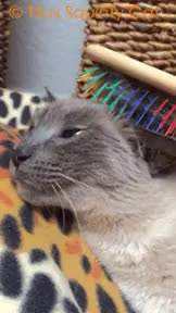Watch and share Siamese Cat GIFs and Cute Cats GIFs on Gfycat