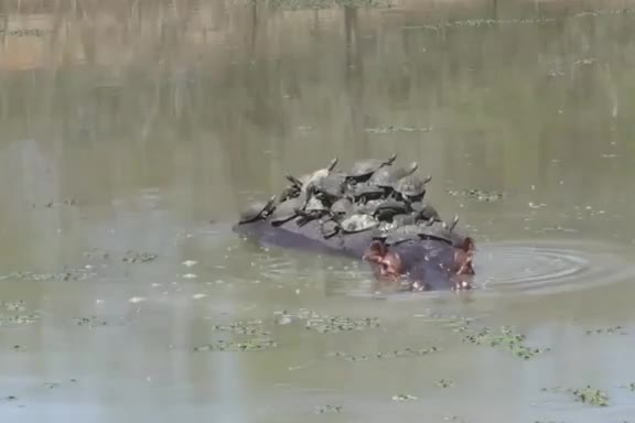 Hippo gets tired of being a turtle meeting base gif