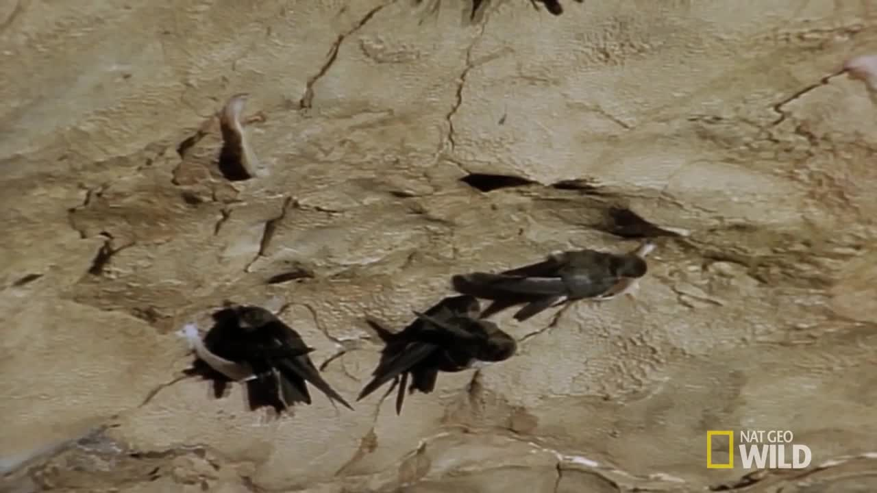 Cave Swiftlet GIFs