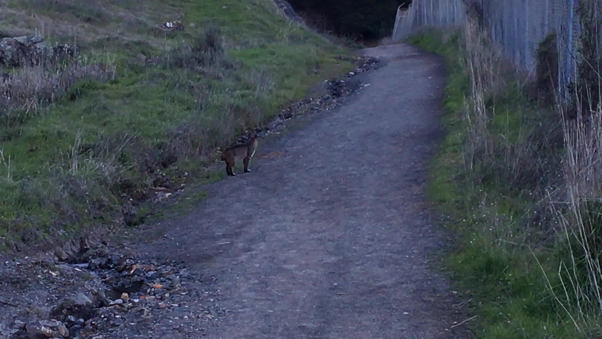 bayarea, bobact, california, Bobcat in Almaden Quicksilver GIFs