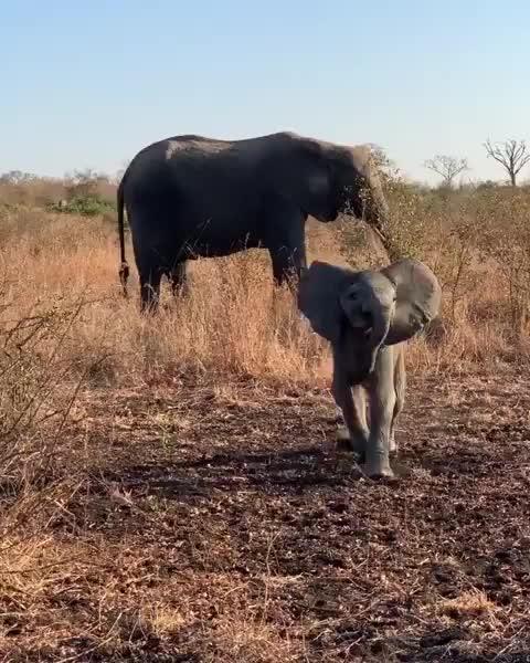 elephant, elephantcalf, gamedrive, luxurysafari, oursingita, sabisands, safarimoments, singita, singita_, singitagram, singitasabisand, southafrica, sustainabletourism, wildlifeconservation, wildlifemoments, Practicing charing techinique GIFs