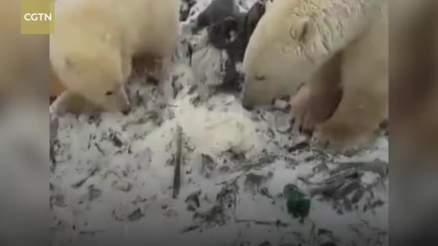 Watch Emergency declared as polar bears 'invade' Russian town GIF on Gfycat. Discover more CCTV, CCTVNews, CGTN, News, News & Politics, WorldNews, animal, bear, change, climate, dangerous, polar, russia GIFs on Gfycat