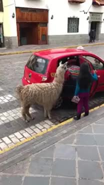 Watch and share Llama GIFs and Taxi GIFs on Gfycat